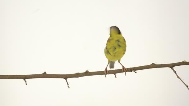 gyönyörű Sárgahasú madár egy ág