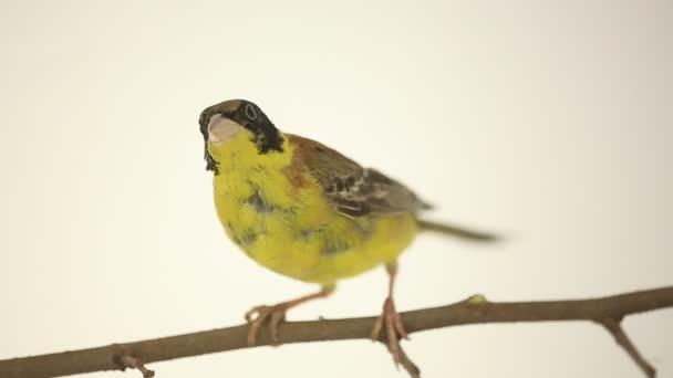 bella Petaurus uccello su un ramo