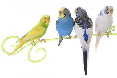 Budgerigars australian parakeets