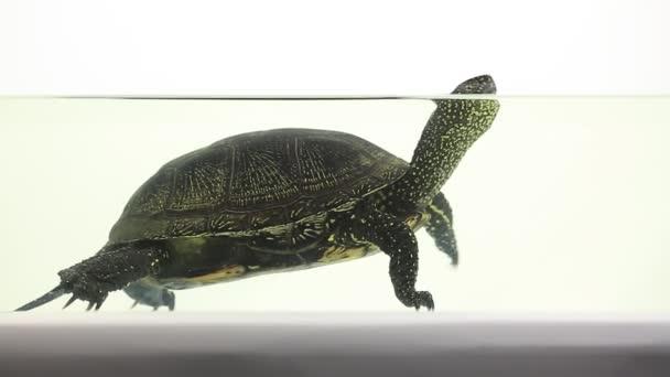 Turtle, víz