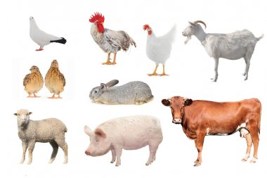 Domestic animals and birds