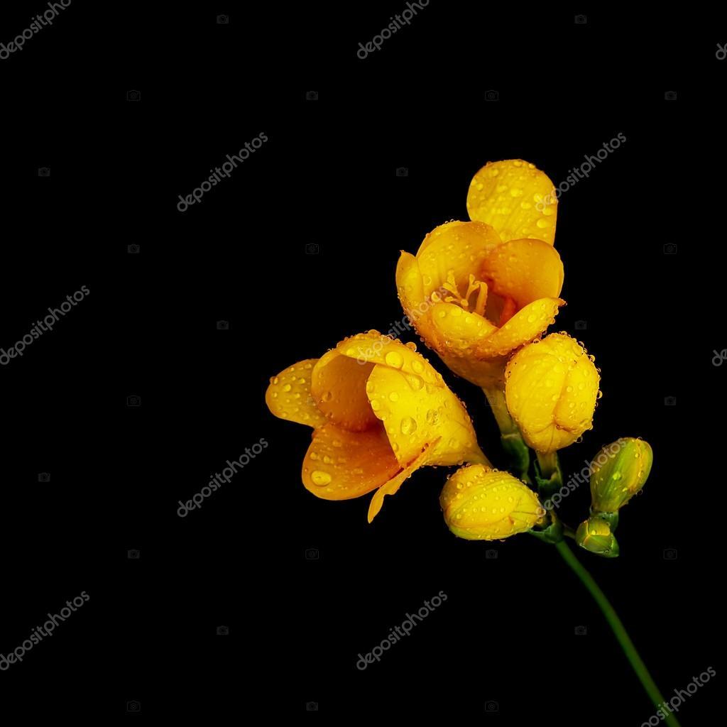 Fondo Flor Negro Flor Amarilla Sobre Fondo Negro Foto De Stock