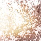 Fotografie Cherry blossom