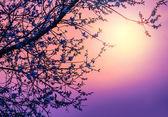 Fotografia fiore di ciliegio sul tramonto viola