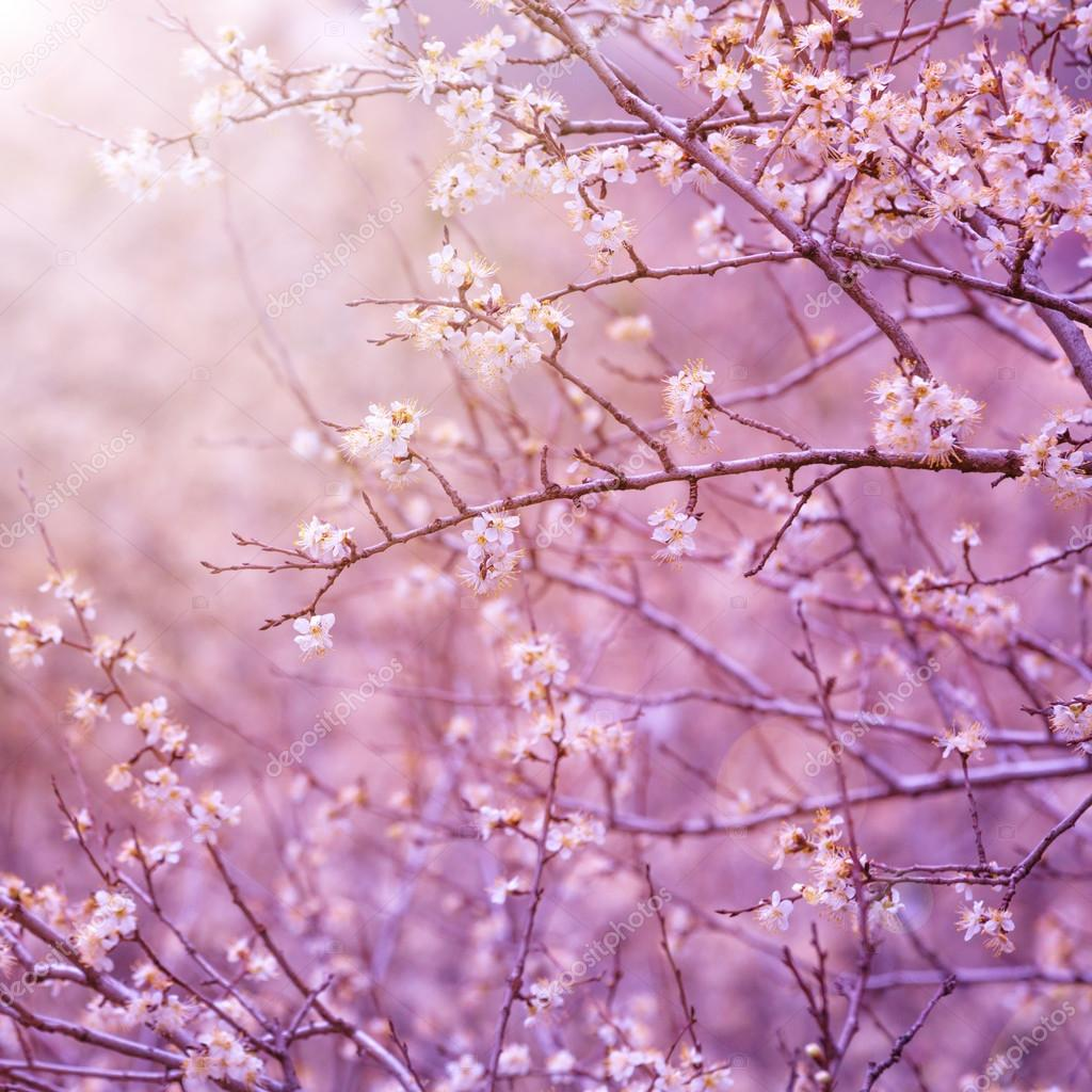 Beautiful tender cherry tree blossom in morning purple sun light, floral background, spring blooming flower stock vector