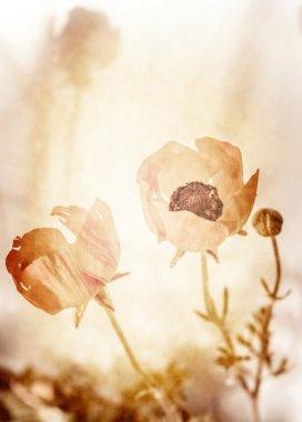 Grunge photo of poppy flowers