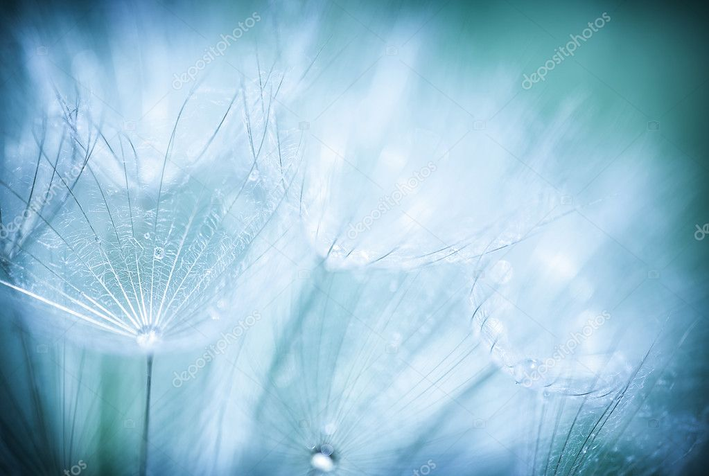 Dandelion flower background