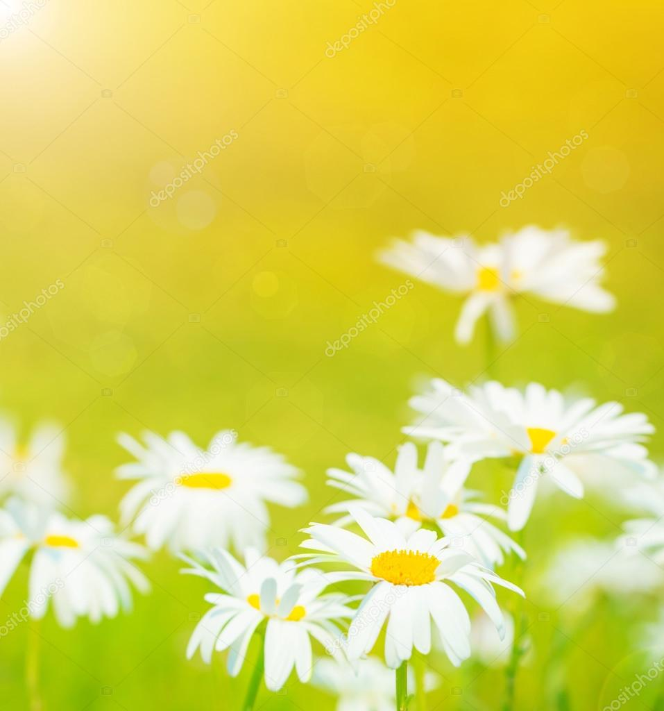 daisies flowers field u2014 stock photo anna om 27145935