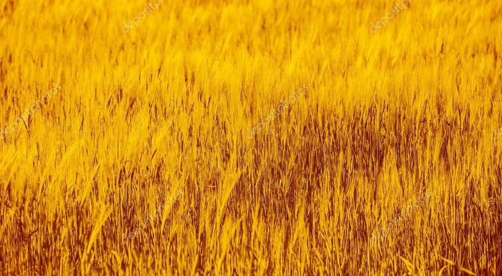 Wheat field background