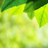 Fotografie Green leaves border