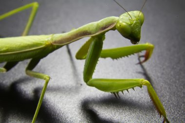 Closeup of a green mantis
