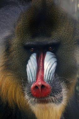 stunning look of a baboon monkey