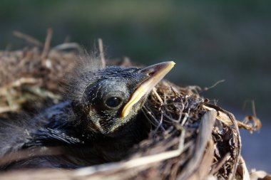 small Blackbirds just leave the egg in the nest