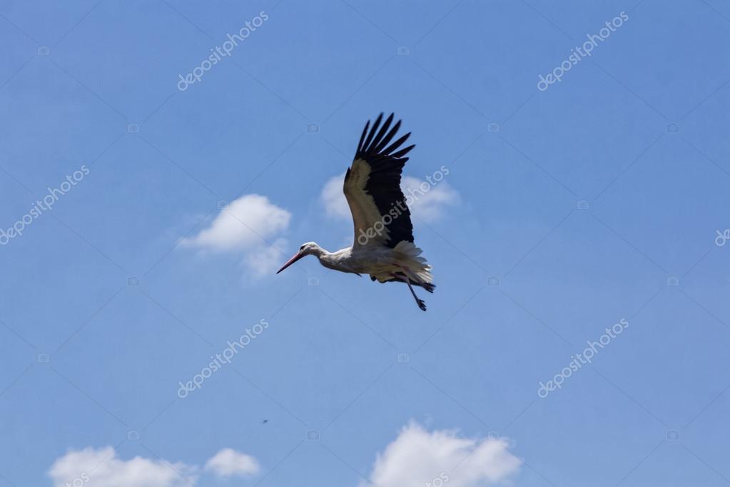 cegonha voando stock photo james633 51002197