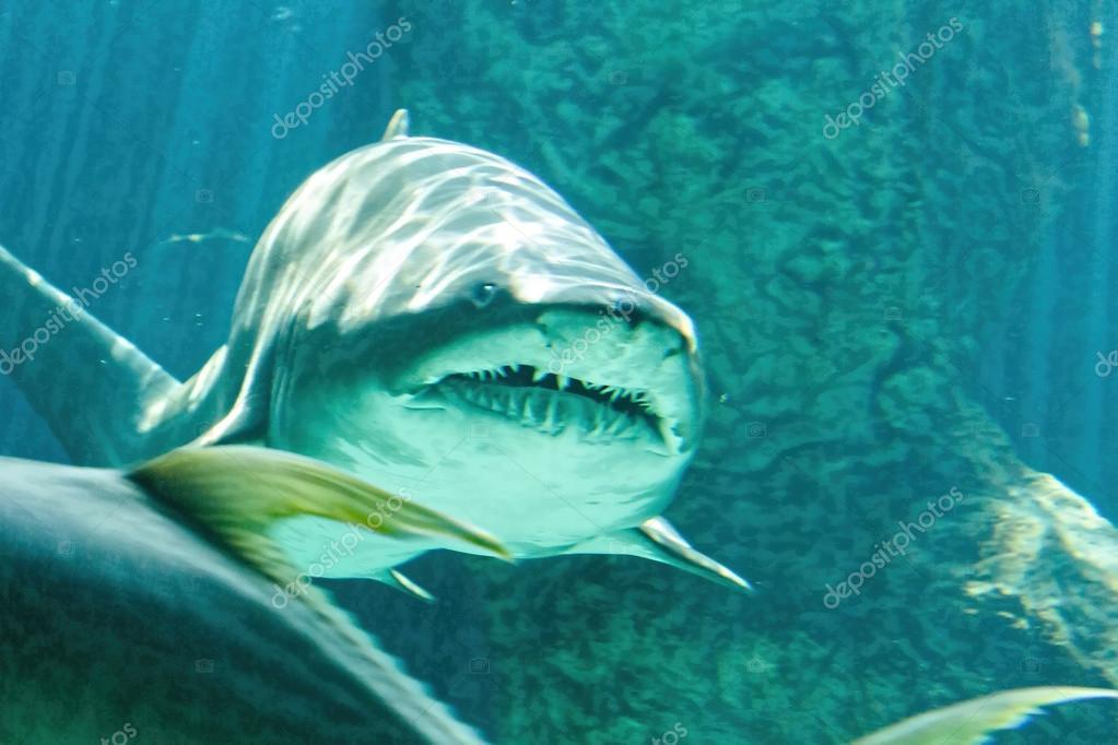 Dangerous bull shark jaw huge — Stock Photo © James633 #51002391