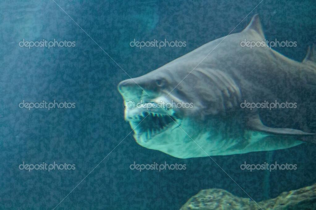 Pictures : bull sharks | Dangerous bull shark jaw huge