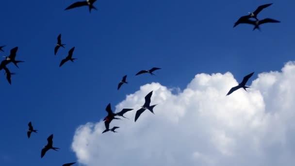 Fragata nyáj fregatt madarak csoport repül a kék ég, a felhők Contoy szigeten