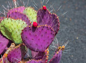 Lanzarote Guatiza kaktusz kert Opuntia Macrocentra