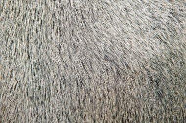 bull white hair closeup macro detail