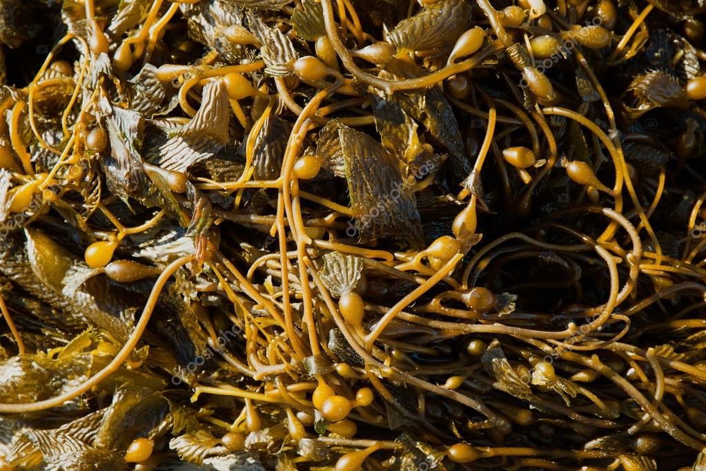 California Pacific seaweed Giant kelp Macrocystic pyrifera