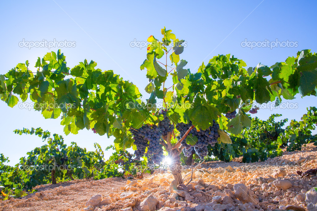 Bobal Wine grapes in vineyard raw ready for harvest