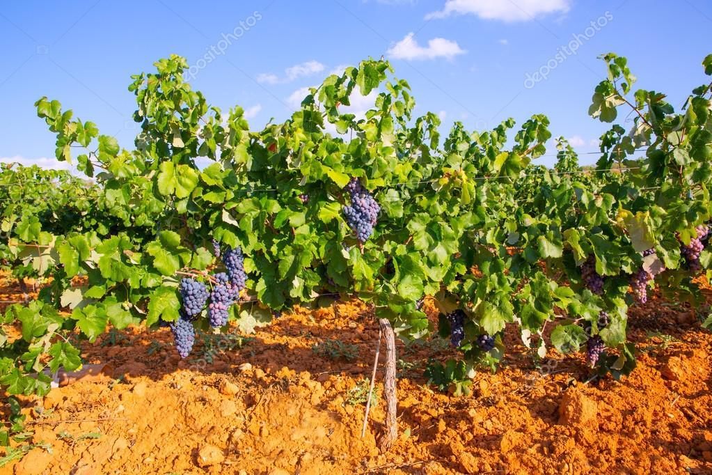 スペインで utiel レケナで地中海のブドウ畑 — ストック写真