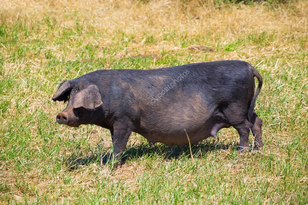 Black pig outdoor grazing in Menorca Balearic islands