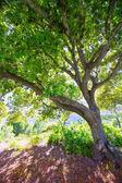 Photo Menorca oak tree forest in northern cost near Cala Pilar