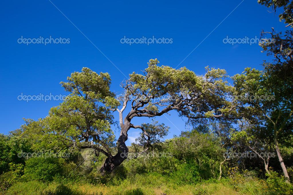 Menorca oak tree forest in northern cost near Cala Pilar