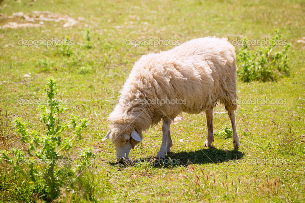Sheep grazing grass in Menorca Balearic