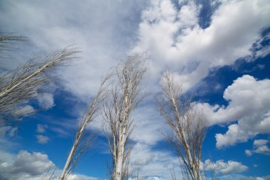 blue dramatic sky in winter with leafless poplar