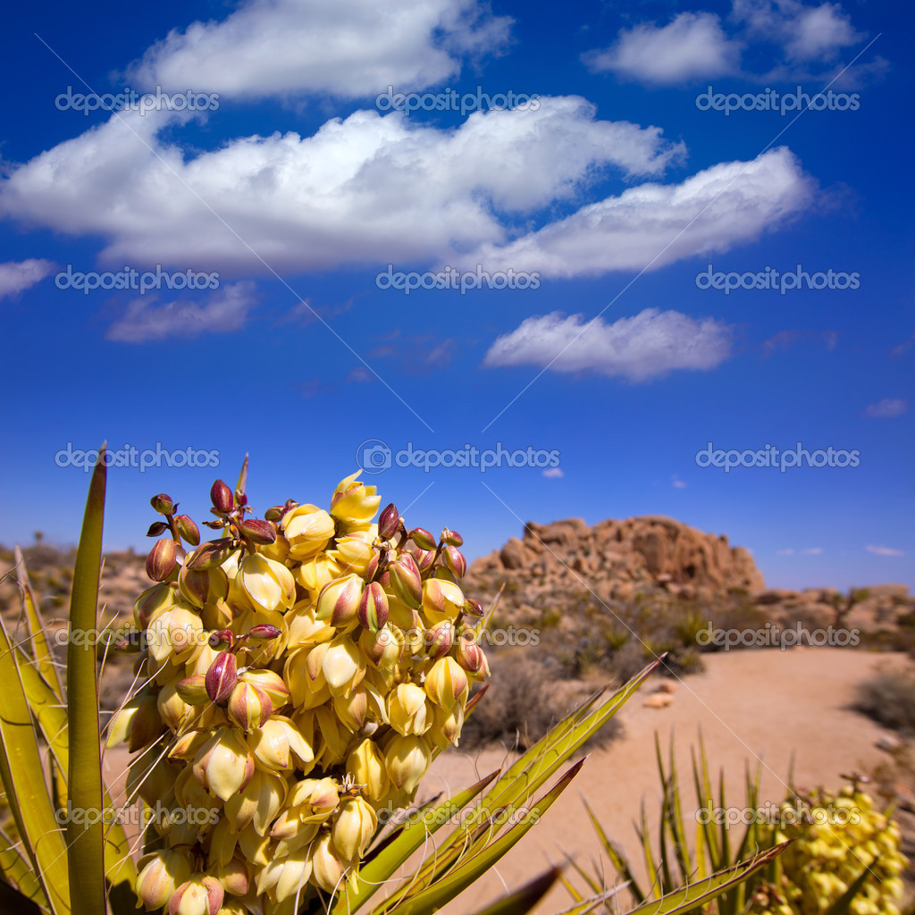 Yucca brevifolia flowers in Joshua Tree National Park