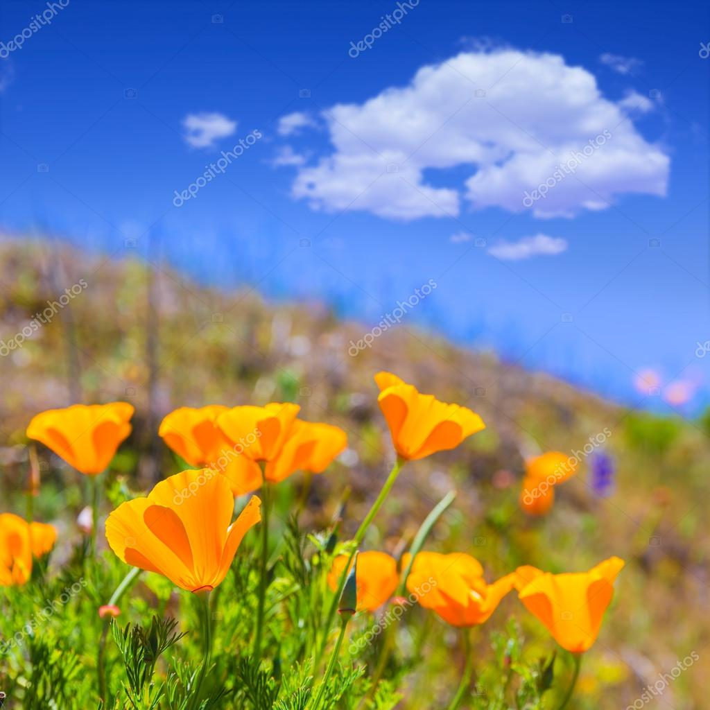 Poppies Poppy Flowers In Orange At California Spring Fields Stock