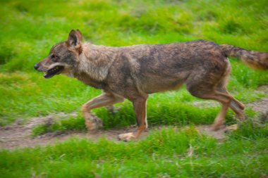 Wolf from spain running motion blur
