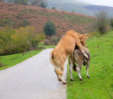 Cows in love pretending intercourse in Pyrenees road