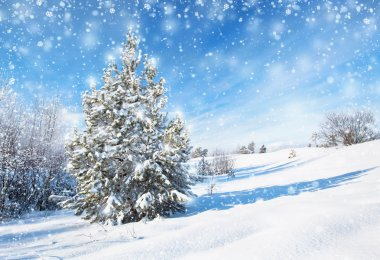 Winter background with spruce