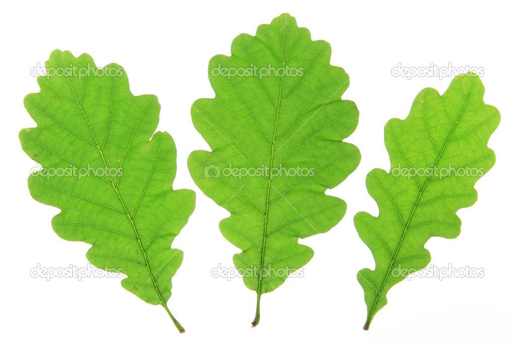 Foglie di quercia su fondo bianco foto stock for Robur calorio 52 prezzo