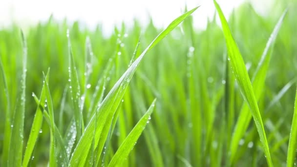 Green wheat field covered by water drops