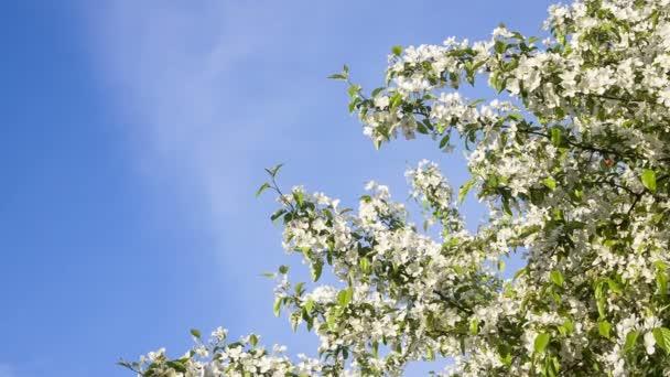 bílé květy - stromy kvetou na jaře