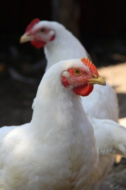 White chickens of meat breed