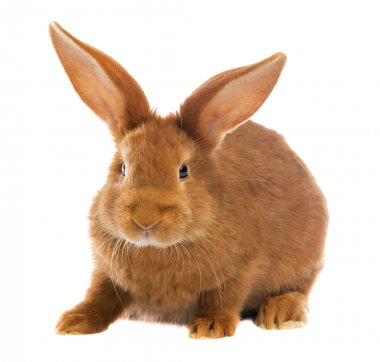 light brown rabbit