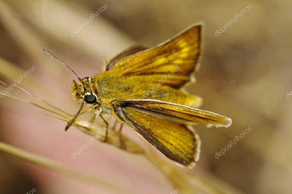 Lulworth Skipper (Thymelicus acteon)