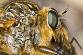 Fotografia Giant robber fly (proctacanthus rodecki)