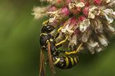 ヨーロッパのスズメバチ