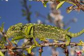 roztomilý zelený chameleon