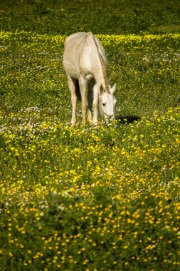 White horse on a landscape field