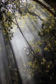 sluneční paprsky přes stromy v lese
