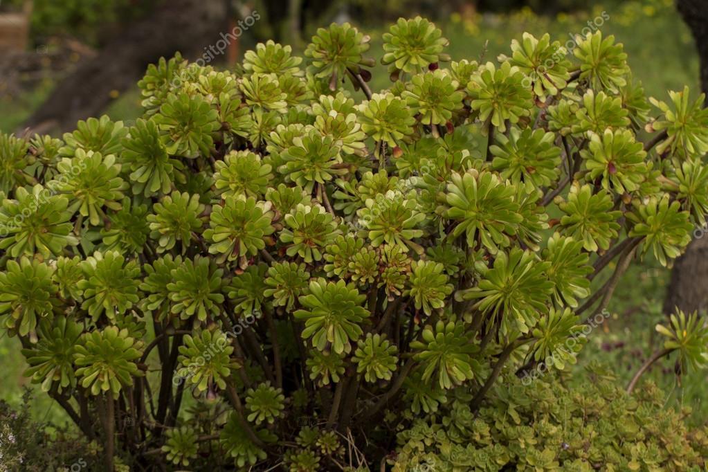 Succulent Aeonium arboreum plant