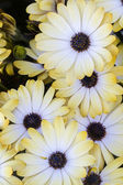 Osteospermum bílé květy