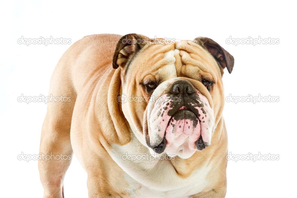 simpatico bulldog inglese cane soggiornare isolato su bianco — Foto ...